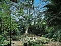 Old tree - S. Miguel - Açores (51385284330).jpg