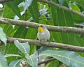 Olive-capped warbler Setophaga pityophila. Endemic - Flickr - gailhampshire (1).jpg