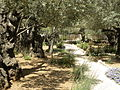 Olive trees in the traditional garden of Gethsemane (6409570231).jpg