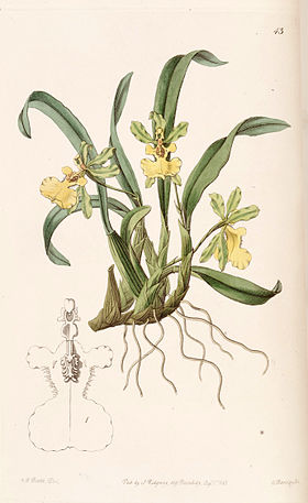 Oncidium uniflorum - Edwards vol 29 (NS 6) pl 43 (1843).jpg