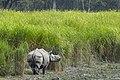 One-Horned Rhino at the Kaziranga National Park, Assam.jpg