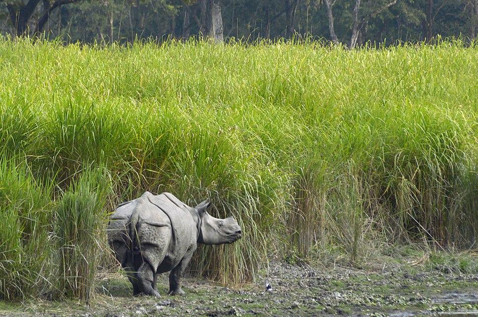 One-Horned Rhino at the Kaziranga National Park, Assam