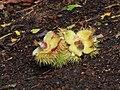 Opengebarsten peulen van tamme kastanje (Castanea sativa).JPG