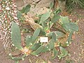 Opuntia chakensis - NBGB - IMG 4366.JPG