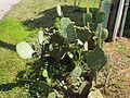 Opuntia humifusa Eastern prickly pear.JPG