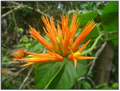 OrangeBlossom.PNG