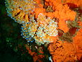 Orange choirboy ascidians at Lollipop pinnacle P2199281.JPG