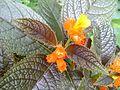 Orange flowers kerala.jpg