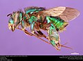 Orchid bee (Apidae, Euglossa piliventris (Guérin-Méneville)) (36312383333).jpg