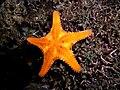 Oreasterid starfish.jpg