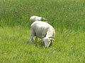 Orford Ness - Portland Sheep (14534764423).jpg
