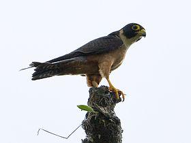 Oriental Hobby - Falco severus - Falco (2526569907).jpg