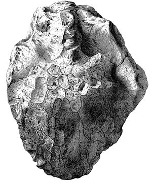Ornithopsis - Lectotype dorsal vertebra in anterior view, as illustrated in 1875
