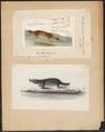 Ornithorhynchus paradoxus - 1700-1880 - Print - Iconographia Zoologica - Special Collections University of Amsterdam - UBA01 IZ20300170.tif