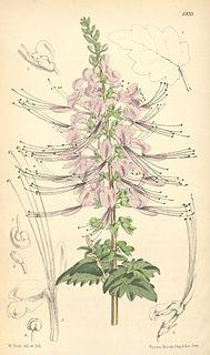 <i>Orthosiphon</i> genus of plants