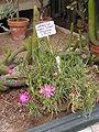 OrtoBotPadova Lampranthus roseus.jpg