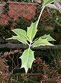 Osmanthus heterophyllus4.jpg