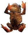 Osornophryne simpsoni male holotype - ZooKeys-108-073-g002-right.jpg