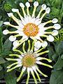 Osteospermum ecklonis.jpg