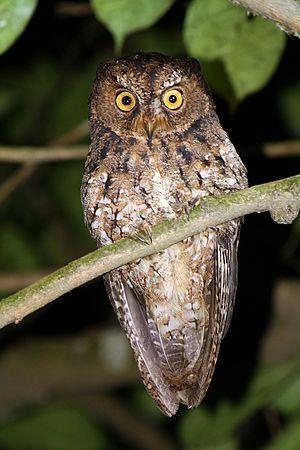 Sulawesi scops owl - Image: Otus manadensis