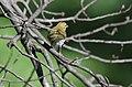 Ovenbird (29307537190).jpg