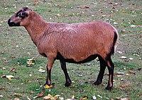 Ovis aries aries, owca kamerunska, Stare ZOO, Poznan (3).JPG
