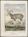 Ovis musimon - 1700-1880 - Print - Iconographia Zoologica - Special Collections University of Amsterdam - UBA01 IZ21300089.tif