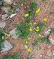 Oxalis-pes-caprae-2015-05-14.jpg