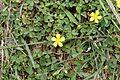 Oxalis corniculata 9843.jpg