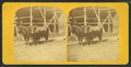 Oxen in Charlestown Navy Yard, from Robert N. Dennis collection of stereoscopic views 2.png