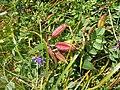 Oxytropis jacquinii fruits.jpg