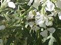 Pčela na cvijetu1332.JPG
