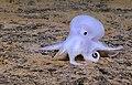 PMNM - Casper - New Octopod Species (30550423053).jpg