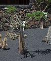 Pachypodium lamerei - Guatiza - Jardín de Cactus - Lanzarote - J38.jpg