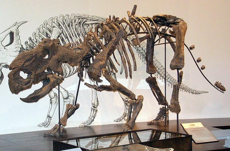 File:Pachyrhinosaurus Royal Tyrell.jpg