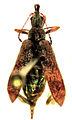 Pachyurinus sticticus female.jpg