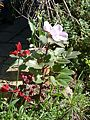 Paeonia cambessedesii x molokosewitschii - Flickr - peganum (1).jpg