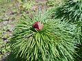 Paeonia tenuifolia 2017-04-20 8141.jpg