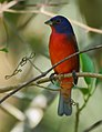 Painted Bunting in Corkscrew Wildlife Sanctuary (32276837490).jpg