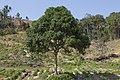 Paitan Sabah Common-mango-Mangifera-indica-01.jpg