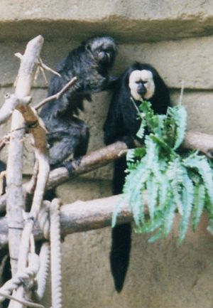 White-faced saki - Female (left) and male P. pithecia, illustrating sexual dimorphism in coat coloration