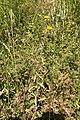 Pallenis spinosa-Astérolide épineux-20150605.jpg