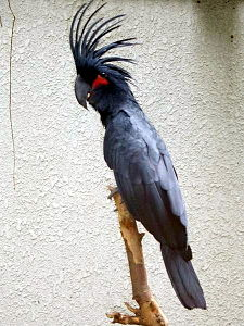 Palm Cockatoo.JPG