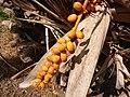 Palmeras en Trenque Lauquen (planta 02) foto 02.JPG