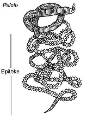 Palolo worm - Image: Palolo 00