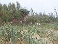 Pancratium maritimum (habitat).jpg