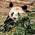 Panda National Zoo.jpg