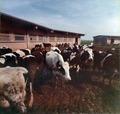Pannello fotografico lavorazione Parmigiano-Reggiano (1 di 6) - Musei del cibo - Parmigiano - 217a.tif