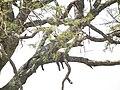 Panthera pardus in Tanzania 3713 Nevit.jpg