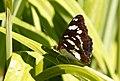 Papallones de casa meva - Ninfa dels rierols - Limenitis reducta (5166388610).jpg